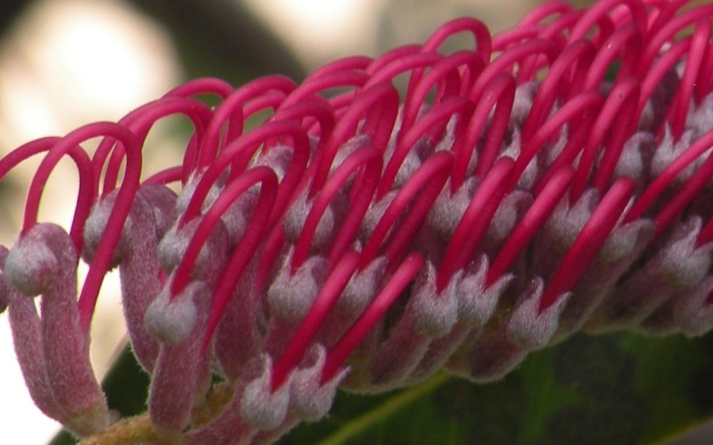 Another Amazing Grevillea 3