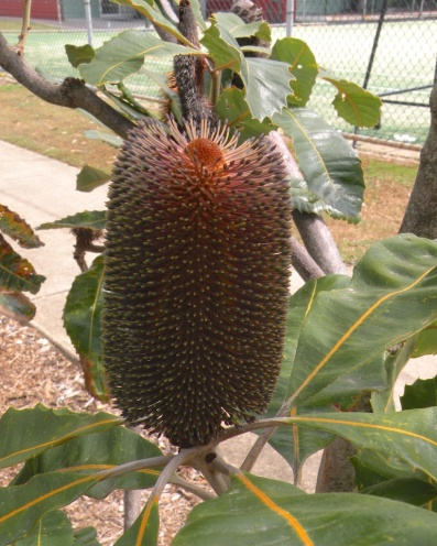 Big Bad Banksia 1