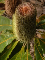 Big Bad Banksia 4