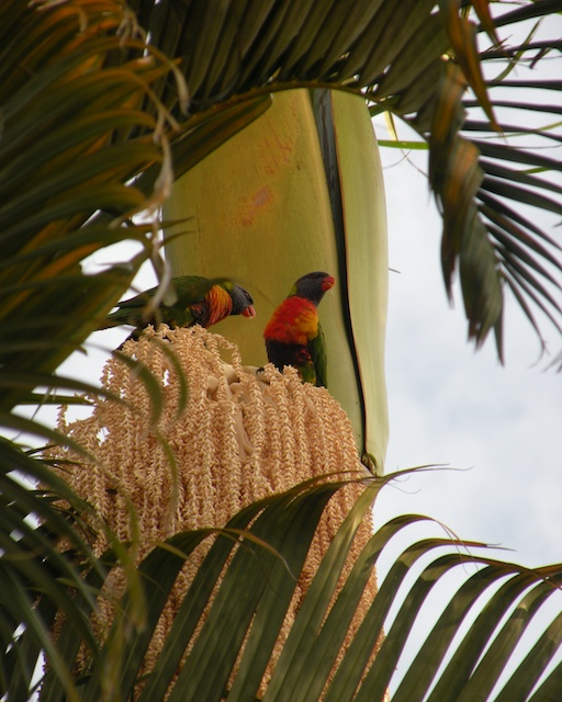 I Wish, Rainbow Lorikeets